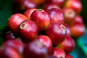 Closeup of Coffee Cherries