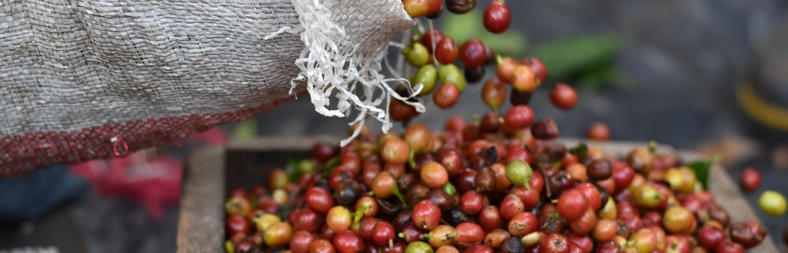 Coffee Export and Processing - Eximware Inc.